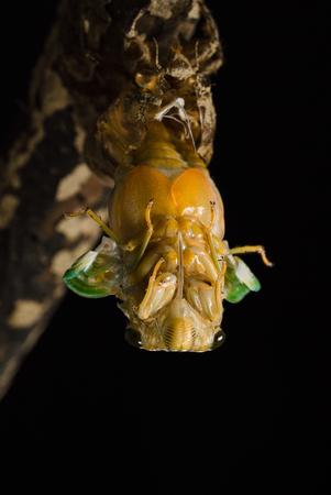 Emergence of cicadas 写真素材 - 99427730