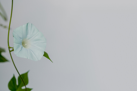 The flower of a morning glory withers around noon. 스톡 콘텐츠
