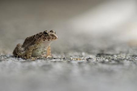 Wrinkled Frog 스톡 콘텐츠 - 100462498
