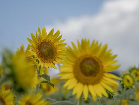 Sunflower field 스톡 콘텐츠 - 100346369