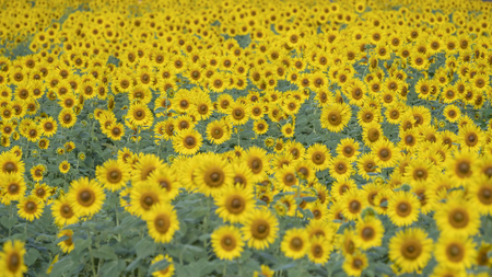 Sunflower field in summer 스톡 콘텐츠 - 100592042