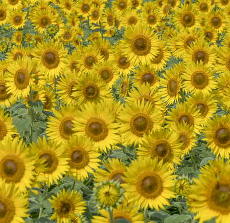 Sunflower field 스톡 콘텐츠 - 100526066