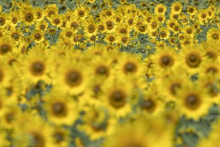 Sunflower field 스톡 콘텐츠 - 101072576