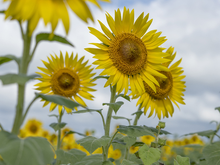 Sunflower field 스톡 콘텐츠 - 101378474