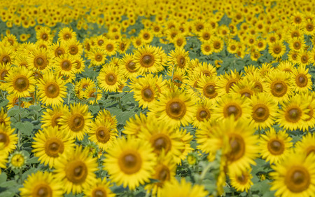 A field full of sunflowers 스톡 콘텐츠 - 101537025