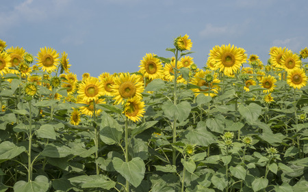 A field full of sunflowers 스톡 콘텐츠