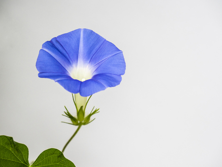 Morning glory   Ipomoea nil 스톡 콘텐츠 - 102665286
