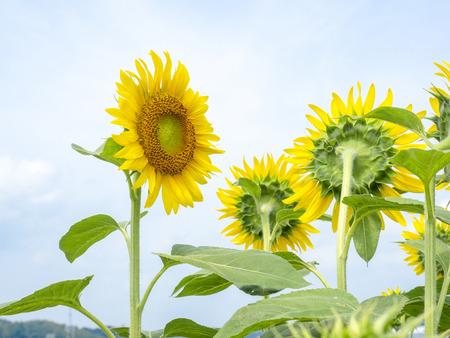 Sunflower field. 스톡 콘텐츠 - 103024497