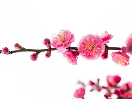 UME is Japanese plum 스톡 콘텐츠 - 116225018