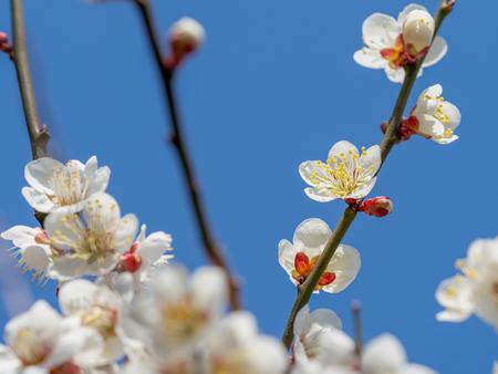 UME is Japanese plum 스톡 콘텐츠 - 116225021