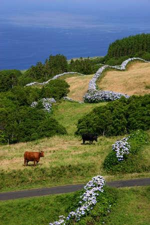 agriculture azores: farm cows on the coast Stock Photo