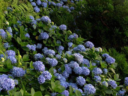 jennifer: Hortensia (Hydrangea Macrophylla) typical flower of azores
