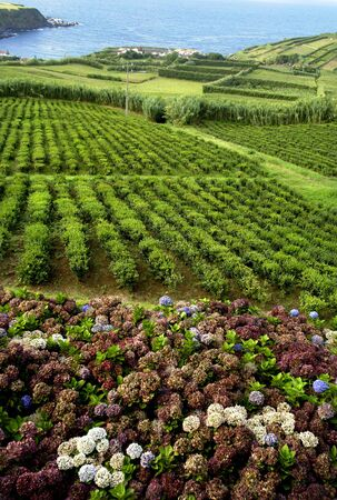 jennifer: Hortensia typical flower of azores in a tea field Stock Photo