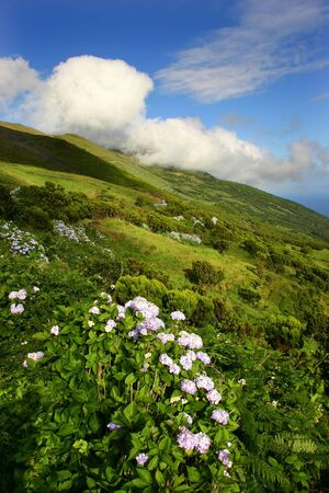 portugal agriculture: azores typical flowers at the island of Sao Miguel