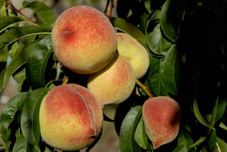 buch: buch of colored peaches on a tree Stock Photo