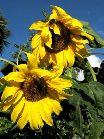 green vegetation: sunflower detail at the sun among green vegetation Stock Photo