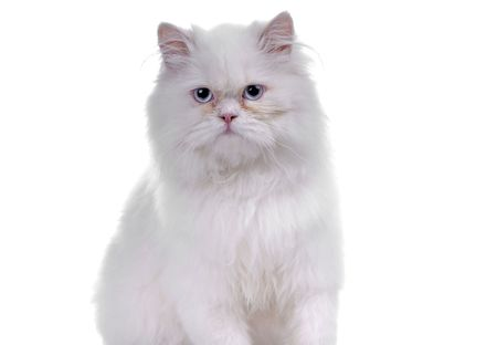 White cat with blue eyes. On a white background photo