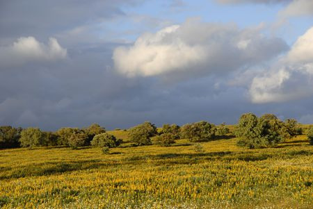 yellow flowers in a field, at alentejo, portugal photo