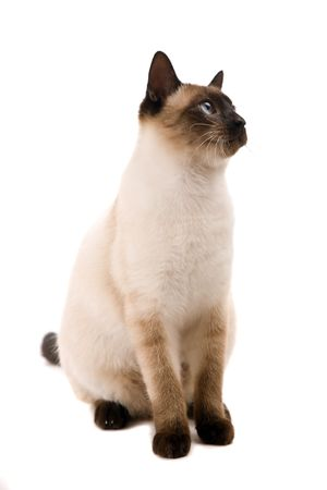 grey haired: White cat looking up. On a white background Stock Photo