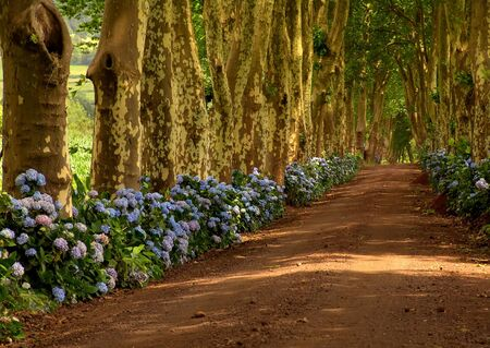 path with tree on two side in azores photo