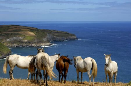 agriculture azores: horses at the coast of azores in sao miguel island, Portugal Stock Photo