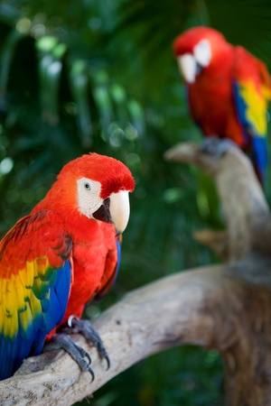 couple of beautiful macaws, on Xcaret, Yucatan, Mexico Stock Photo - 8518386