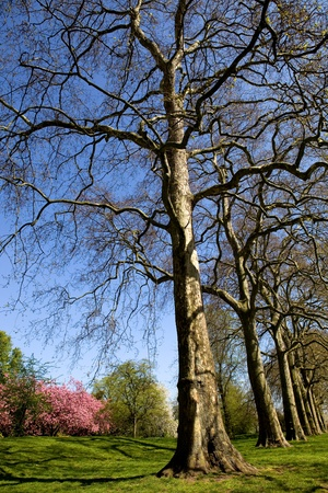 hyde: trees at the hyde park in london, uk