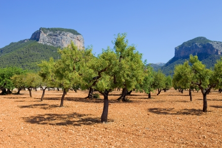 Olive trees from Majorca soil from mediterranean islands of Spain photo