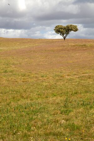 alentejo: lonely tree in a alentejo farm, the south of portugal