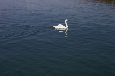 beautiful white swan in lausanne lake, switzerland photo