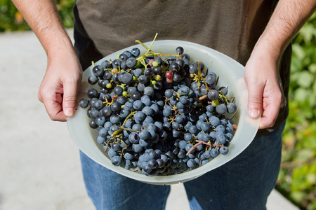 wine grower: hands holding fresh bunch of grapes in the vineyard Stock Photo