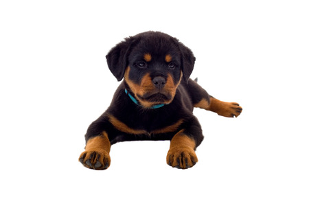 rotweiler: Little Rottweiler puppy dog, isolated on white background Stock Photo