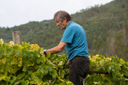 Farmer picking grapes during harvest at a vineyard in Bouro, Portugal. The region of Minho