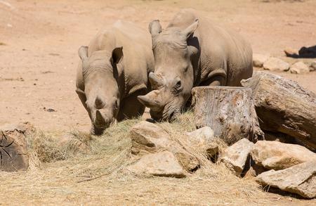 Two African wildlife safari rhinoceros 스톡 콘텐츠