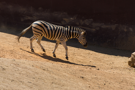 Zebra walking on the savanna