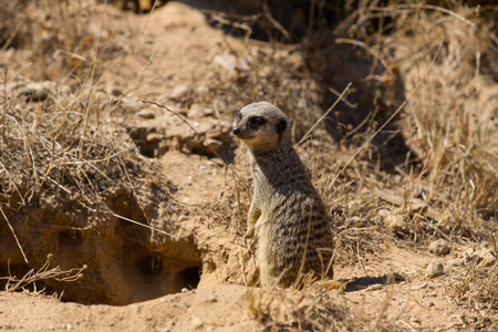 A meerkat or suricate watching out for danger Stock Photo