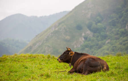 Cows in the Picos de Europa, Asturias. A very tourist place in Spain