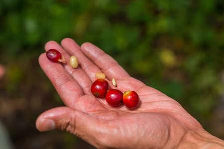 farmer hold fresh coffee beans in the hand. Panama 스톡 콘텐츠