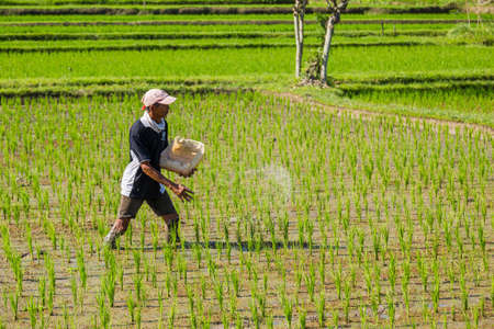 BALI, INDONESIA - man working in the rice fileds of bali, Indonesia