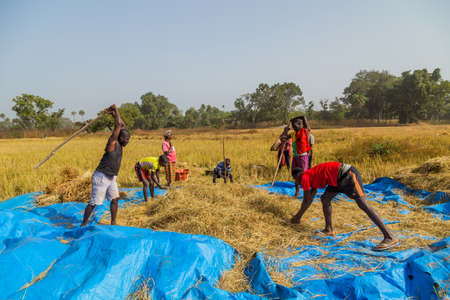 Bissau, Republic of Guinea-Bissau: Farmers working the field, countryside of Bissau