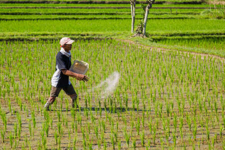 BALI, INDONESIA: man working in the rice fileds of bali, Indonesia