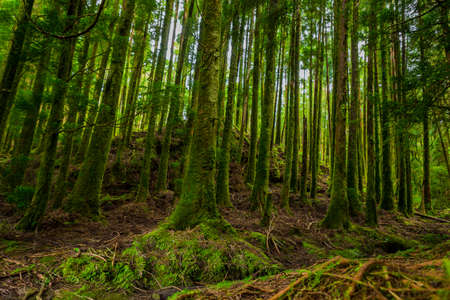 mystic green forest ground with roots in Lagoa do Canario, on Sao Miguel, Azores, Portugal