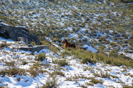 Wild horses pasturing at the mountains in the north of Portugal and Spain. Xures Mountains Stok Fotoğraf