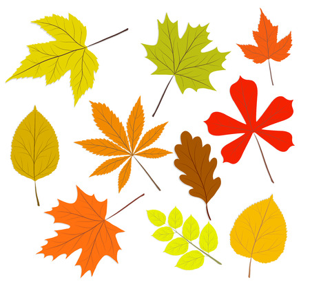 Collection of beautiful colorful autumn leaves. Isolated on white background. Vector illustration.