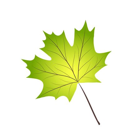 Green realistic maple leaf on white, stock vector illustration