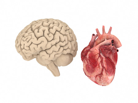 human vein  heartbeat: Realistichuman brain and heart isolated on white background. Stock Photo