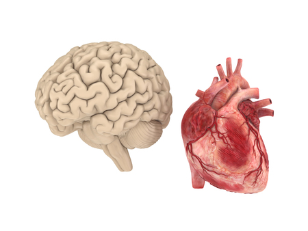 heart intelligence: Realistichuman brain and heart isolated on white background. Stock Photo