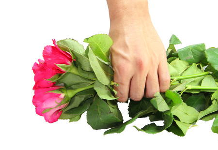 consign: roses in hand  isolated in white  Stock Photo