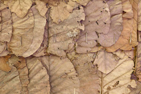 dried leaf: dried leaf wall of cottages