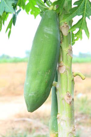 green papaya: green papaya